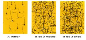 desa. neuronal